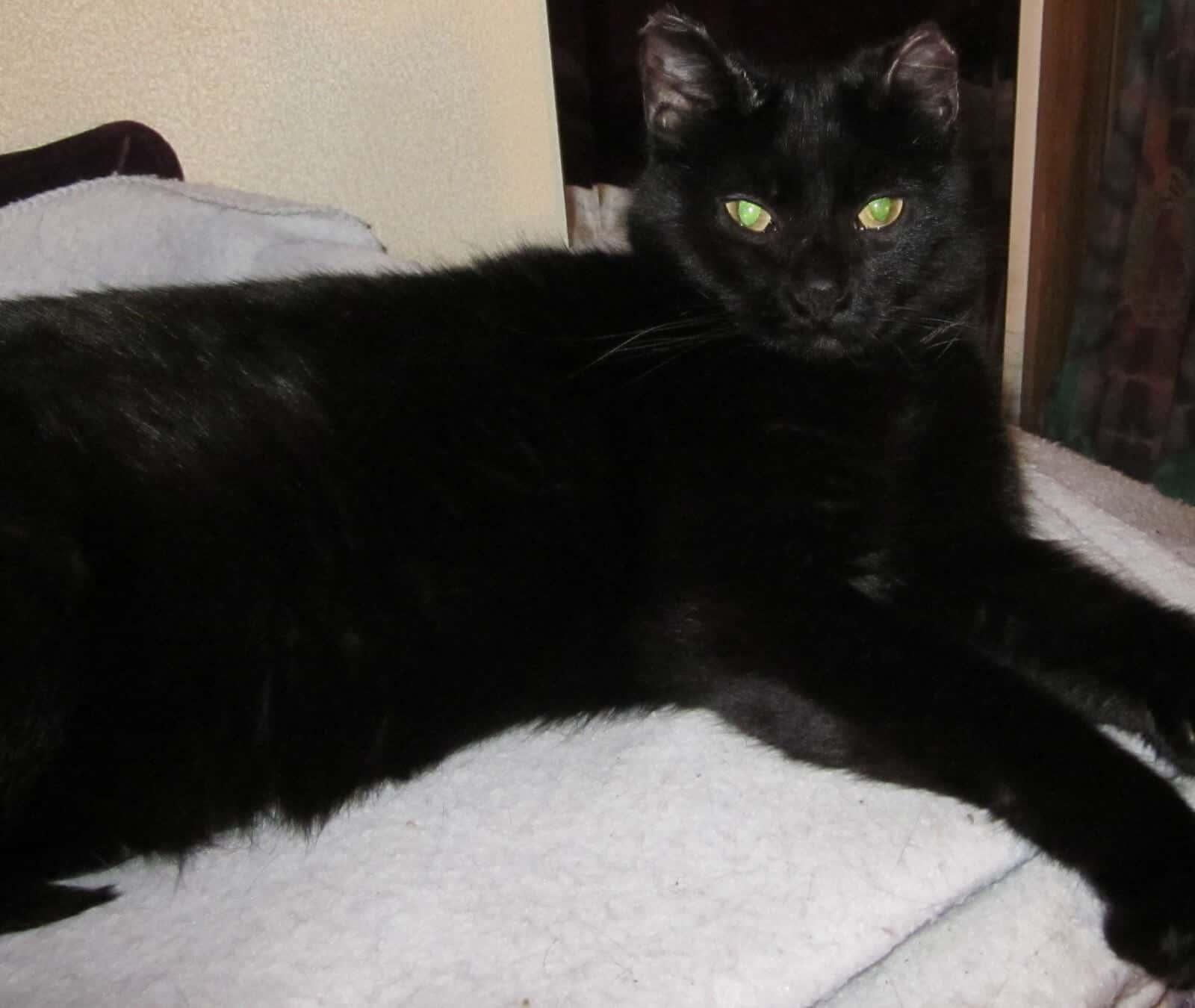 Jewels the Psychic Cat! 1