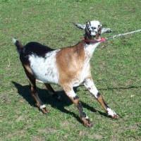 stubborn-goat.jpg
