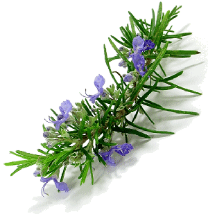 Rosemary: Essential Oil Workhorse 1