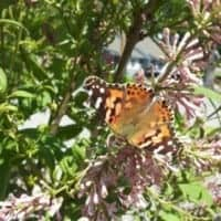 Speaking of Animal Messengers: Butterflies! 2