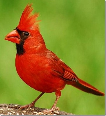 Cardinals: Yes, I see you! 1