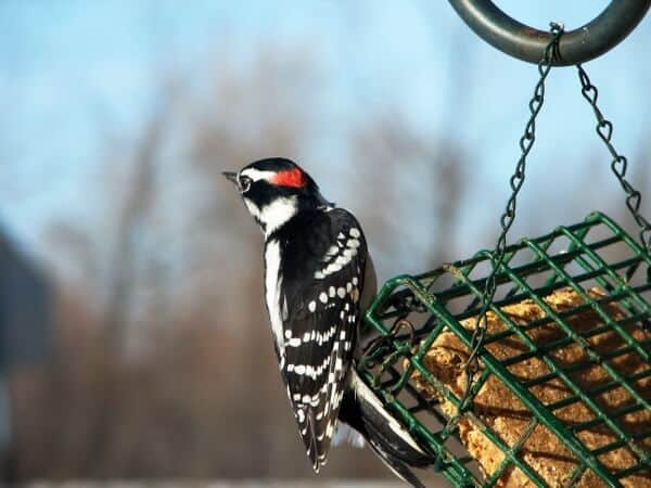 Spirit Animal Messages: Woodpeckers 1