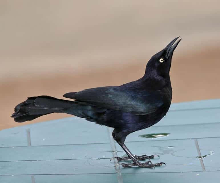 Spirit Animals: Grackles 1