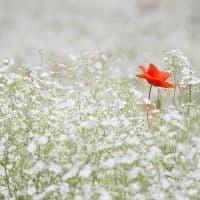 poppy-1128683_1280-1