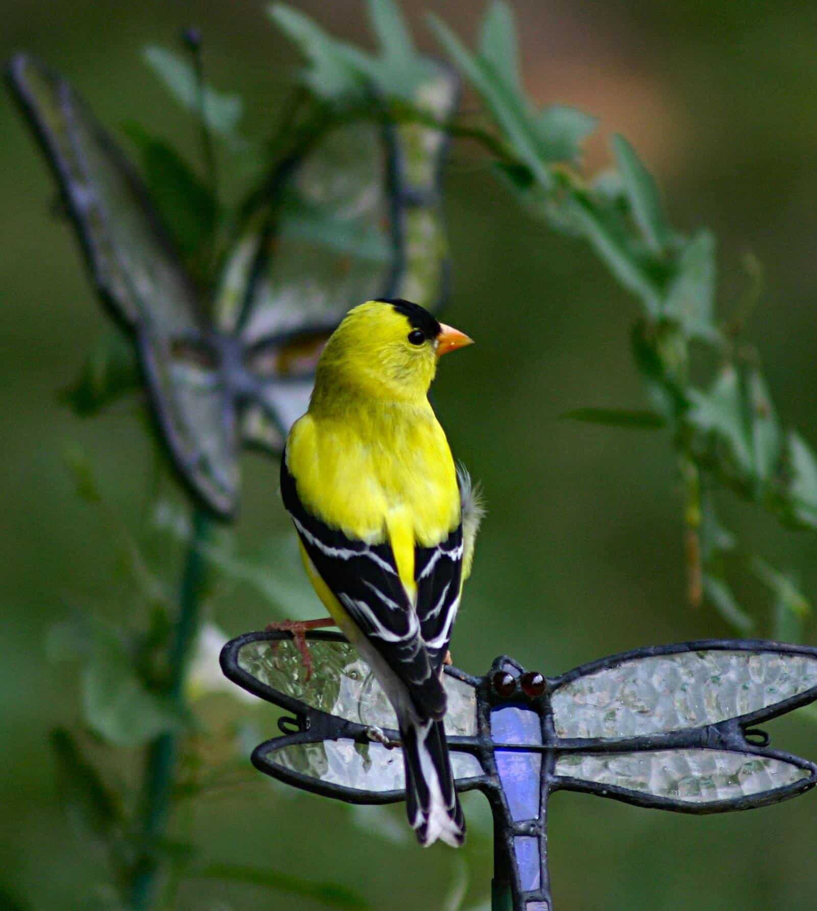 Signs in Real Life: Goldfinch Mobs & Missed Blessings 1