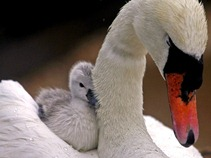 Mother-with-a-Baby-Swan