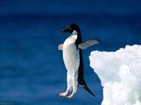 Leap-of-Faith--Adelie-Penguin-1